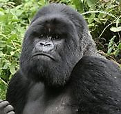 Gorilla tour booking safaris limited Kampala