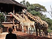 Kenya safaris | Tanzania safaris | Budget camping safari | Luxury lodge safari / Camping safari/ Mas Nairobi